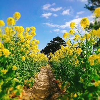 0207菜の花